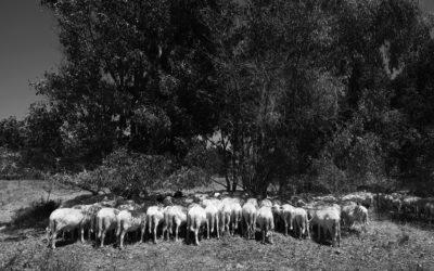 Schafe (1)