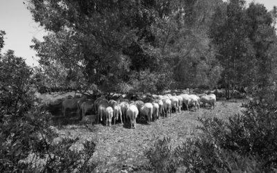 Schafe (2)